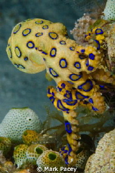 Blue Ringed Octopus by Mark Pacey