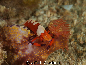 periclimenes imperator on the ceratosoma by Afflitti Gianluca