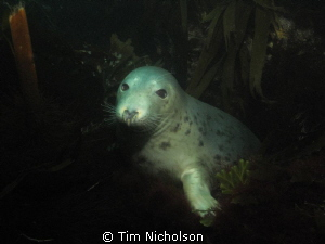 A friendly face! Grey seal posing for the camera amongst ... by Tim Nicholson