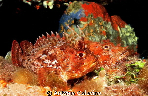 Two  species of scorpion fish-Scorpaena porcus and Scorpa... by Antonio Colacino
