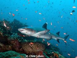 a reef shark in Komodo by Chris Lebas
