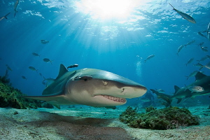 Lemon shark in the sun by Bill Mcgee