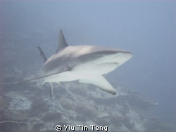 Gray Sharks ran after us in U-long channel!! so Close... ... by Yiu Tin Tang
