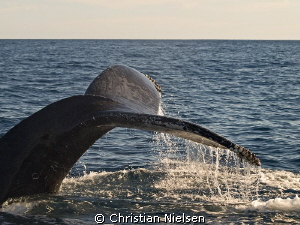 Surface interval. Incredible creature, the humpback whale. by Christian Nielsen