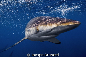 No fear!/This silky shark was baiting some tunas and was ... by Jacopo Brunetti