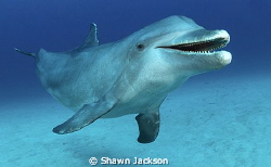 Bottlenose dolphin. by Shawn Jackson