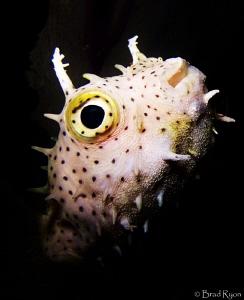 Bridled Burrfish (Chilomycterus antennatus) by Brad Ryon