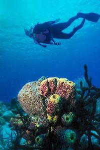 Purple Sponge and Diver:  Taken with an upward angle, Tak... by Gene Scott