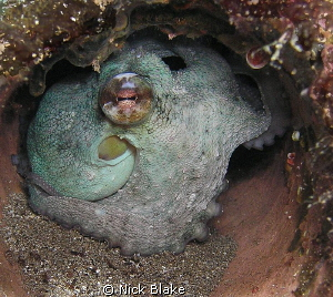 An Octopus sets up home inside a pipe on the seabed.