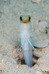 Yellow headed jawfish trying its hypnotic powers... by Nadya Kulagina