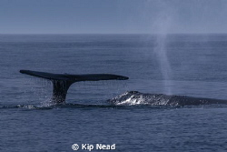 Tail and blow at once, a good day. by Kip Nead