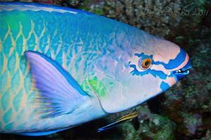 Body Art / Parrot fish in Maamigili Beyru - South Ari Atoll by Boris Pamikov