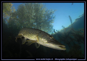Pike Fish... :O)... by Michel Lonfat