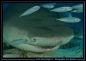 Close-up of a Lemon Shark. by Michel Lonfat