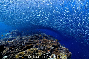 Sardine run by Jacopo Brunetti