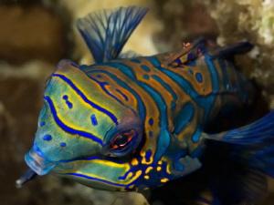 Synchiropus splendidus - close up - by Alex Varani