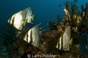 Spadefish on display in Raja Ampat. D300- Tpkina 10-17mm by Larry Polster