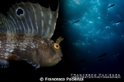Butterfly blenny (Blennius ocellaris) under the sky by Francesco Pacienza