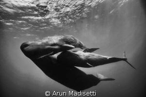 Family portrait.  Socializing sperm whales, Feb 2012 (t... by Arun Madisetti