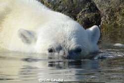 A polar bear in the Spitsbergen (Svalbard Archipelago) by Jm Leuba