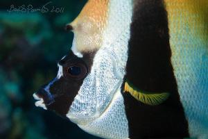 Masked Banner Fish in Maamigili Beyru - South Ari Atoll by Boris Pamikov