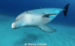 Bottlenose Dolphin by Shawn Jackson