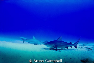 Bull sharks near Playa del Carmen by Bruce Campbell