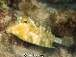 Horned Cow Fish by Lin Dysinger