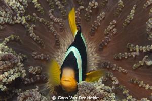 Maldives Anemonefish by Goos Van Der Heide