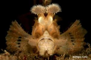 Weedy ScorpionFish by William Loke