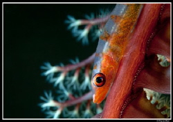 goby supermacro uncropped...(60mm lens +2 teleconverter +... by Dray Van Beeck