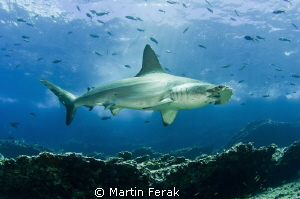 Kind of scary-looking male hammerhead. Up to 3m in length... by Martin Ferak