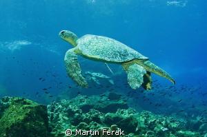 Duo turtles in Galapagos. by Martin Ferak