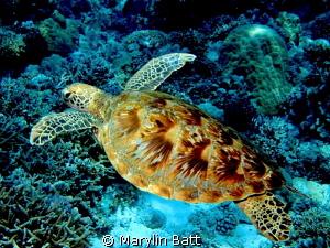 Green Sea Turtle at Tubbataha Marine Sntuary by Marylin Batt