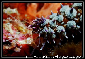 Particularly of a starfish's tentacle (Marthasterias glac... by Ferdinando Meli