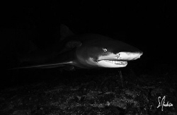 Lemon Shark on a night dive at Tiger Beach.... we had a T... by Steven Anderson
