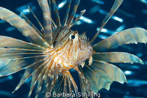 Hunting Lion Fish at the Kudimaa Wreck in South Ari Atoll by Barbara Schilling