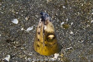 Black-finned snake eel in Lembeh Strait by Marco Walter