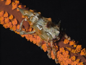 Xenocarcinus tuberculatus and Dasicaris zanzibarica by Alex Varani