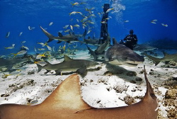 Shark action does not lack at Tiger Beach - Bahamas by Steven Anderson