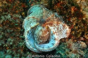 """An huge Octopus vulgaris at """"Secca Monaci"""" by Antonio Colacino"""