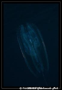 Ctenophora. by Ferdinando Meli