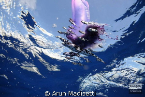 Portuguese Man of war and Man of War fish by Arun Madisetti