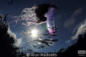 Portuguese Man of ward and associated fish. Today, the wh... by Arun Madisetti