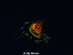 Jelly Fish Plankton in Mid water about 10m. Single strobe... by Ng Steven