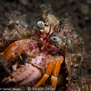 Anemone crab by Beate Seiler