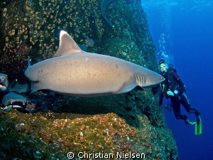 Biggest whitetip shark in the universe ??? Or maybe a fis... by Christian Nielsen