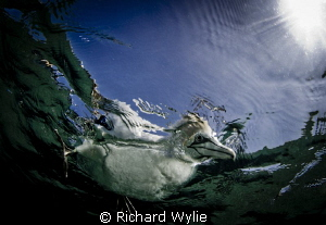 "Australasian Gannet. ""What are you doing down there""? Tak... by Richard Wylie"