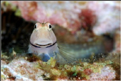 Smiling Blenny.Nikon D80,f11,1/100,YS-120*2. by Allen Lee