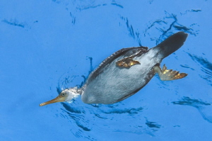 A cormorant on the surface. A funny but very short moment. by Roland Bach